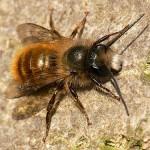 red-mason-bee