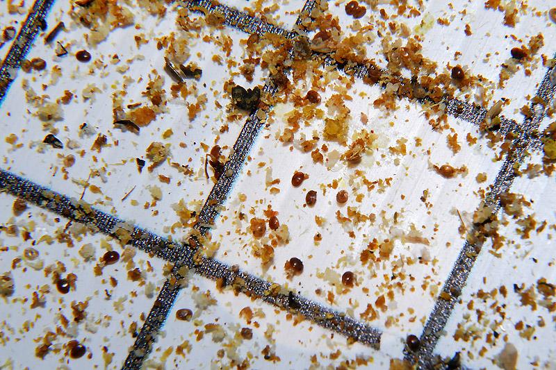 varroa count